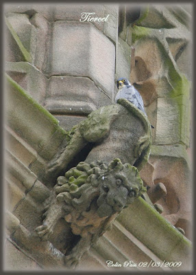 Male peregrine on Derby Cathedral. Photo: Colin Pass.