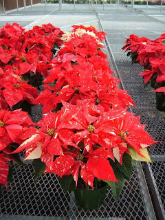 poinsettia plants for sale