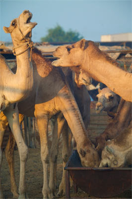 Camels fight at feeding time in the Doha camel market