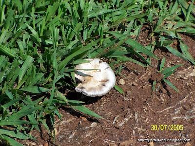Hongo blanco en alrededores de Amatitán