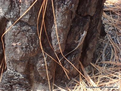 Anolis observada en los alrededores del geocache Lagatos's Lookout