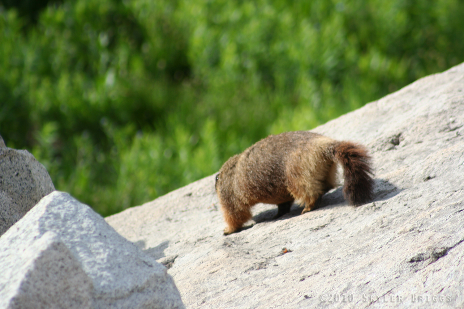 Tracks and Scat: Yellow Bellied Marmot