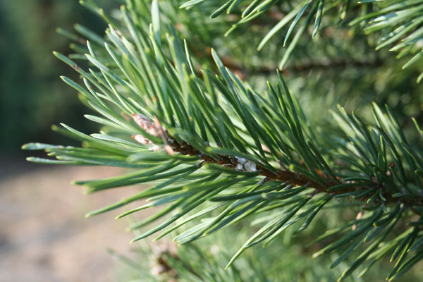 Everwinter Evergreen Care Quot The Firs An Introduction Quot