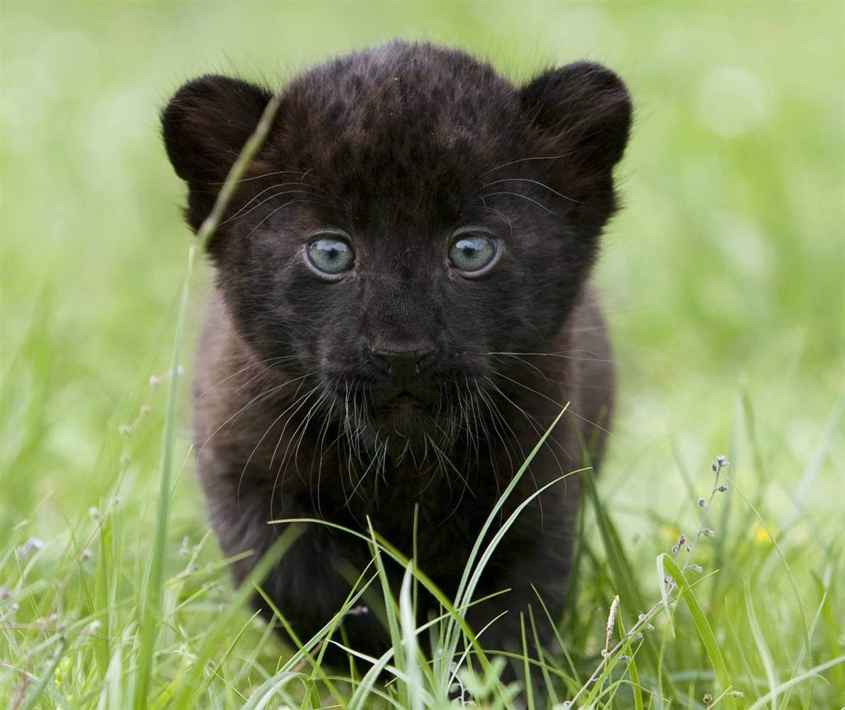 Black Panthers Panthers And Black On Pinterest: BLACK ( PANTHER