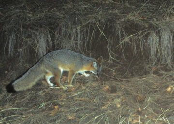 Gray Fox. Photo by Chas S. Cifton