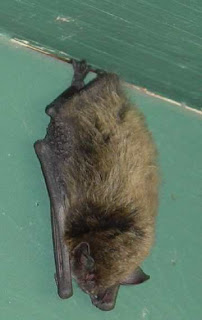 Myotis lucufus. Photo by Chas S. Clifton, 20 August 2007