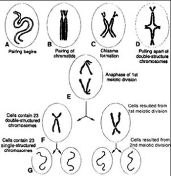 gambar-pembelahan-miosis