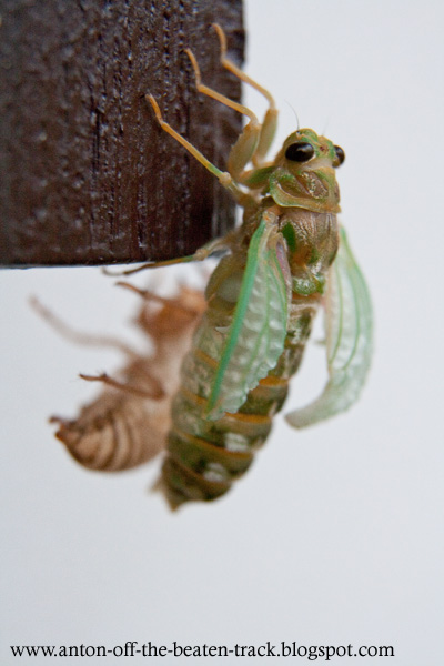 fresh wings of the molting cicada