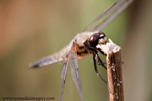 four spotted chaser dragonfly macro photo