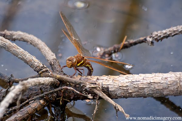 brown hawker dragonfly macro photo
