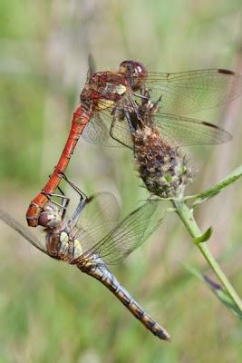 mating dargonflies macro photo