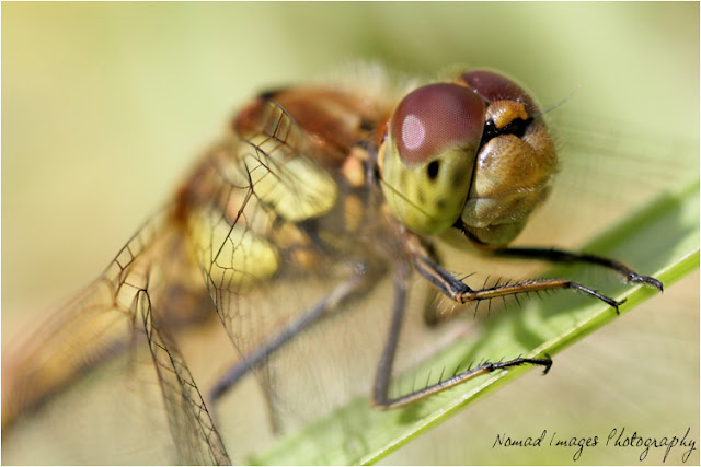 common darter dragonfly macro photo