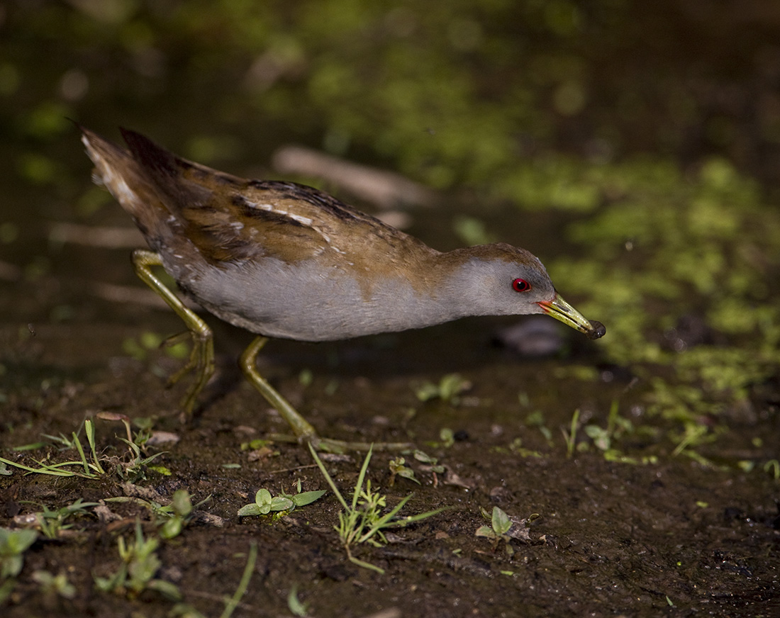 pewit: male Little Crake