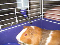 Adopt a Guinea Pig in PA/NJ/NY/WV: 07/01/2008 - 08/01/2008