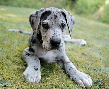 Great Dane Puppies For Sell