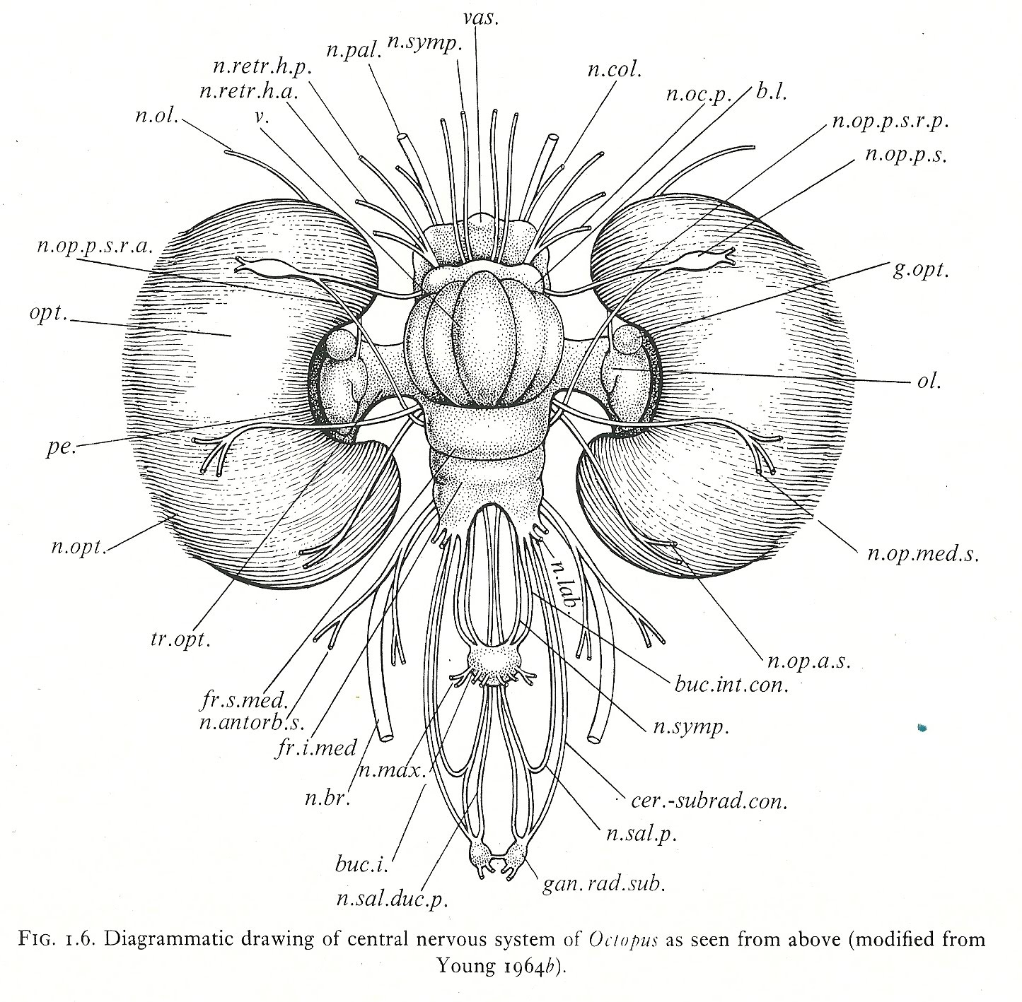 Labeled Diagram Of Octopus 1987 Yamaha 350 Warrior Wiring Cephalove A View The Brain This Figure Is From J Z Young S Anatomy Nervous System Vulgaris 1971 Which I Was Fortunate Enough To Come Across Recently