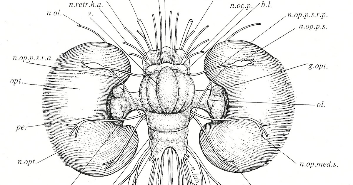 labeled diagram of octopus mtd 990 wiring cephalove a view the brain