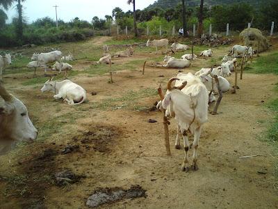 தமிழக பசுவினங்கள் / Tamilnadu regional