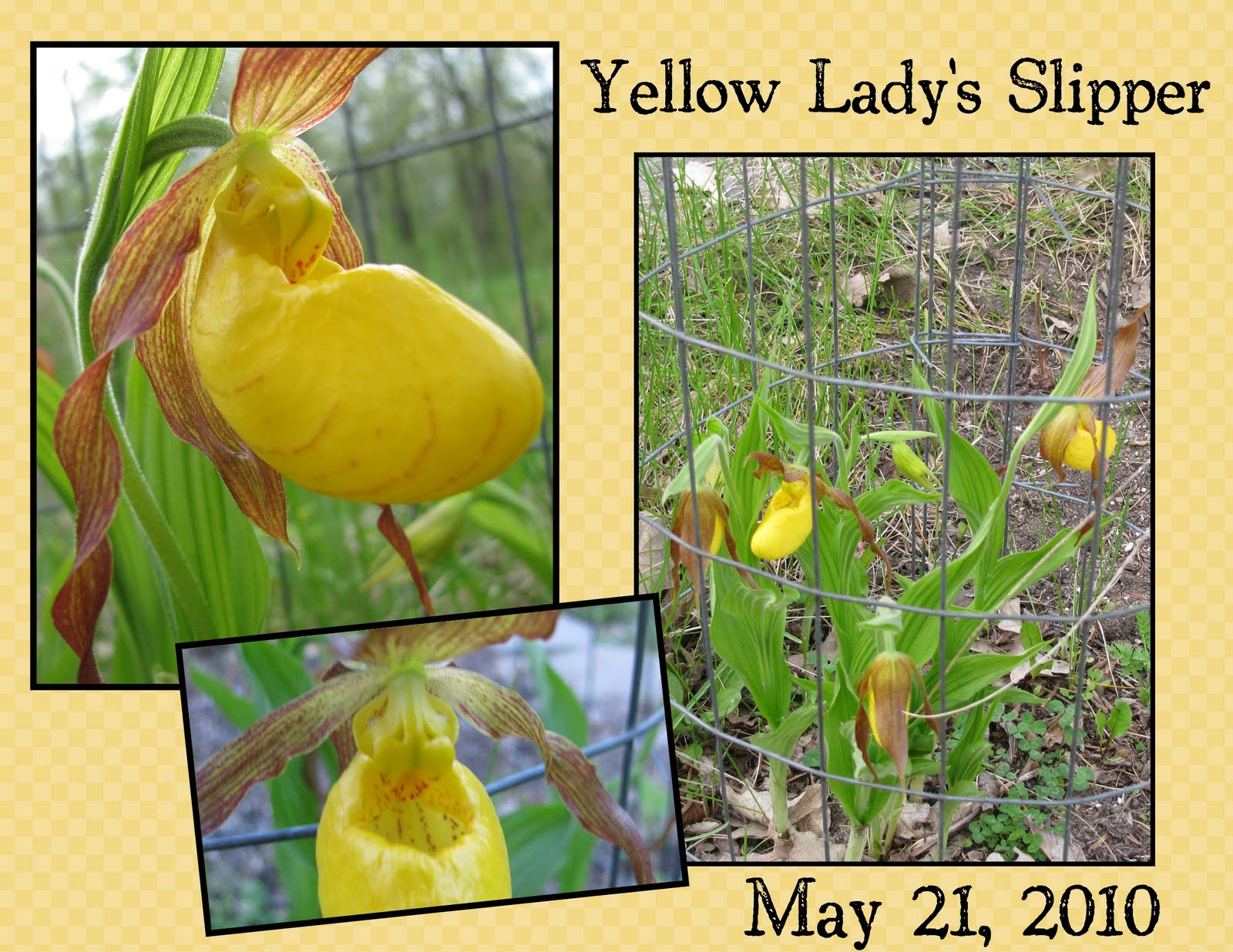 Far Side Of Fifty Yellow Ladys Slippers