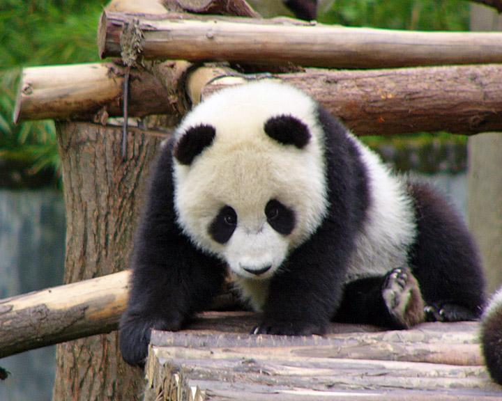 C Est La Vie By Elle Giant Panda Nursery