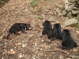 tasmansk djevel hvor kommer den fra