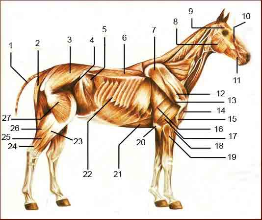 Doma clásica y caballos.: Biomecanica del caballo.