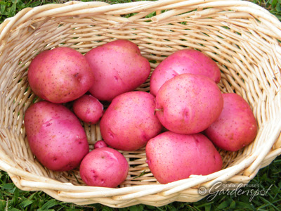 Red norland potatoes days to maturity