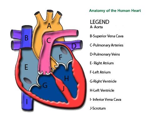 Anatomy human: Human Anatomy Diagram Unlabeled