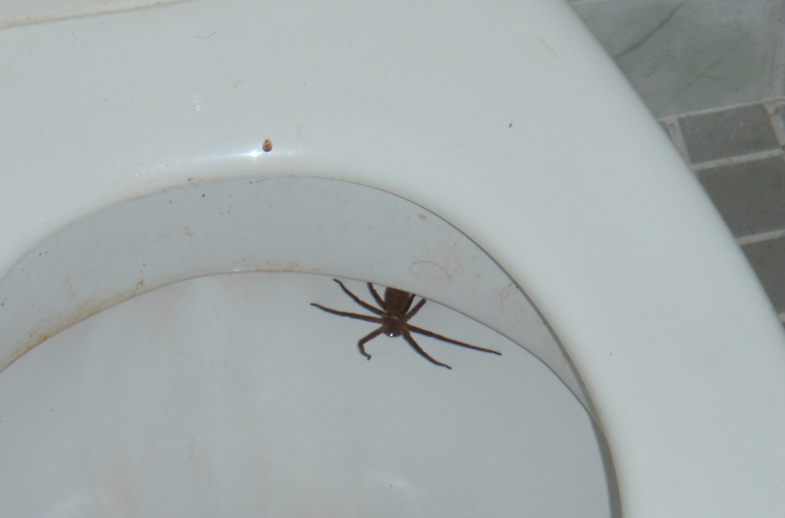 Olive Garden Toilet Spider