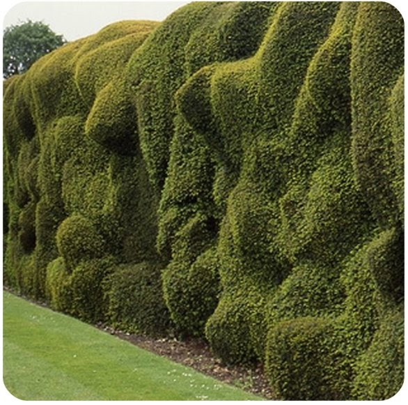 A Day In The Life Hedges