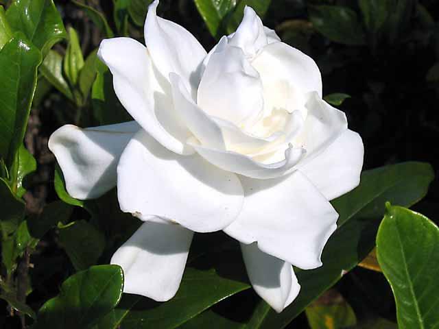 gardenia jasminoides nombre com n o vulgar gardenia jazm n del cabo el mundo y sus plantas. Black Bedroom Furniture Sets. Home Design Ideas