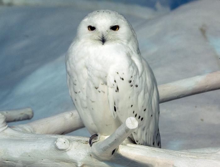 Cute baby white owl - photo#37