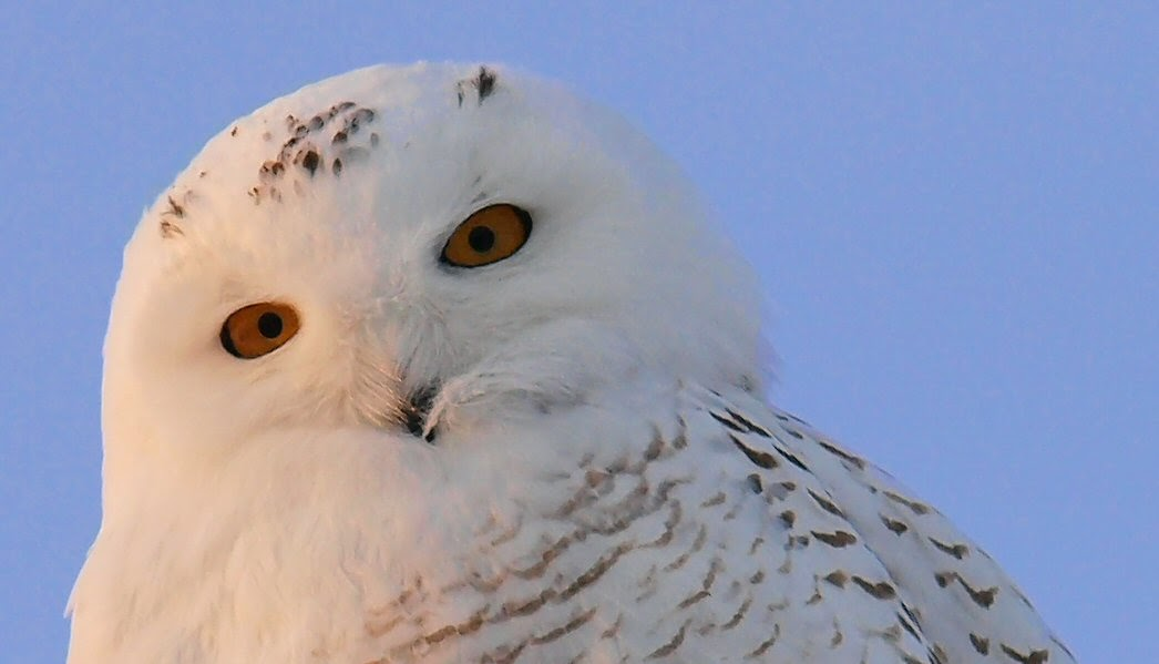 Northern Maine Birds Up On The Roof And Another Snowy Owl