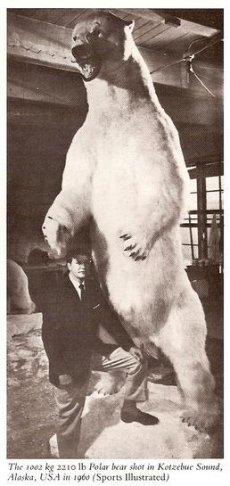 Money rules the world: The largest ever polar bear