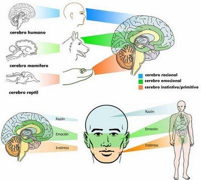 Los funcion de cerebrales lobulos pdf