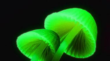 Hongos fluorescentes