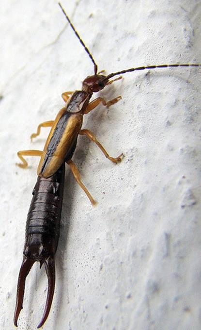 Tips como combatir plaga de tijerillas - Eliminar insectos en casa ...