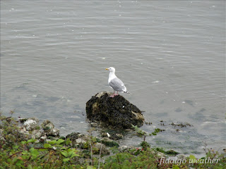 Gull at Fidalgo Weather