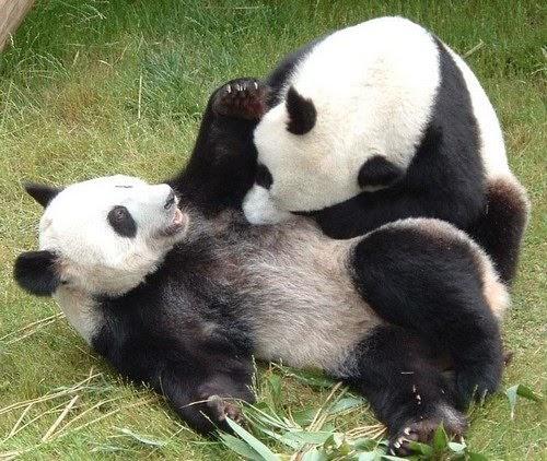 le blog du lutin d 39 ecouves la position du panda. Black Bedroom Furniture Sets. Home Design Ideas