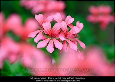 Pink geraniums (Pelargonium)
