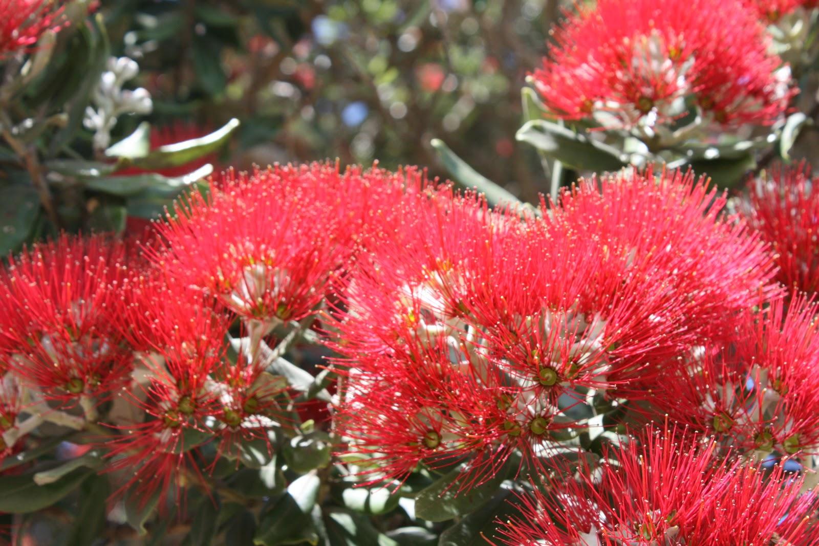 New Zealand Christmas Tree