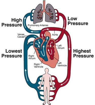 Human Heart Internal Structure