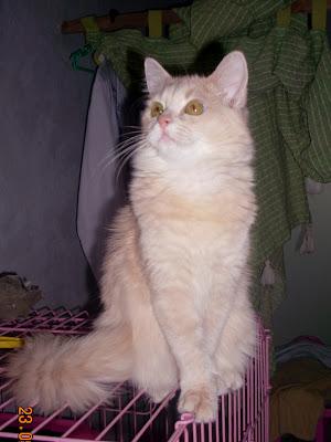 bayi kucing persia Foto Kucing