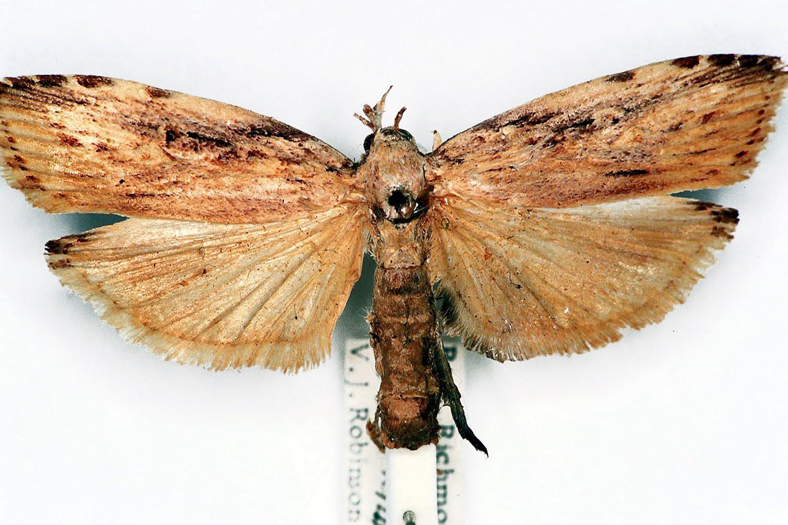 Xyloryctine Moths of Australia: Xylomimetes