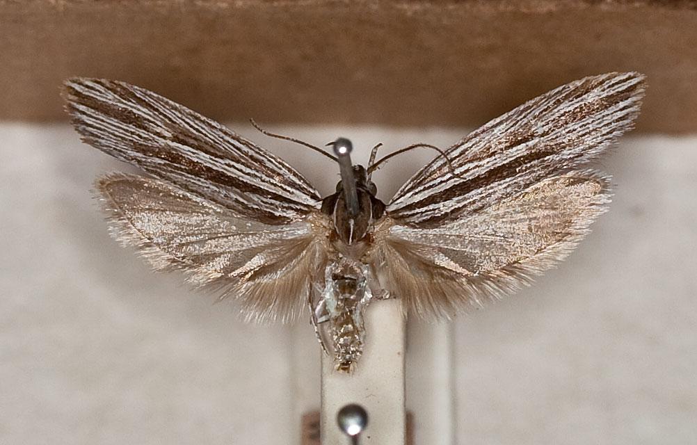 Xyloryctine Moths of Australia: Bathydoxa