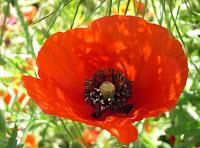 coquelicot de la Somme