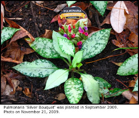 Defining Your Home Garden And Travel Substitute Pulmonaria For