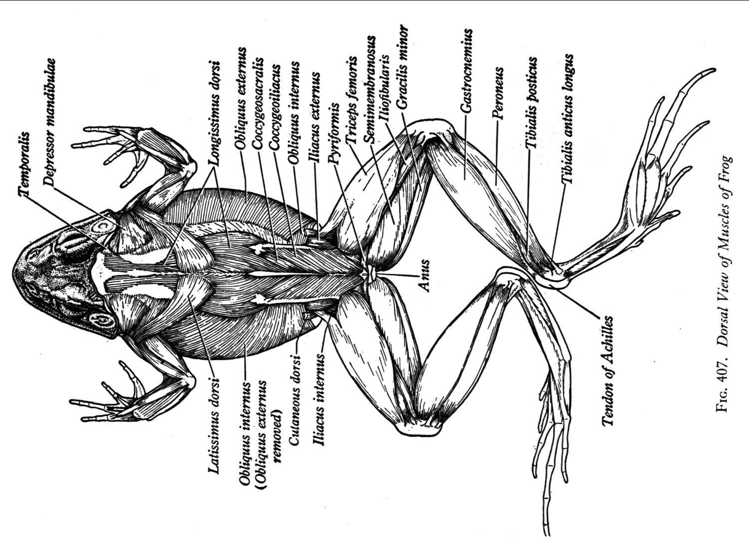 Frog Muscles