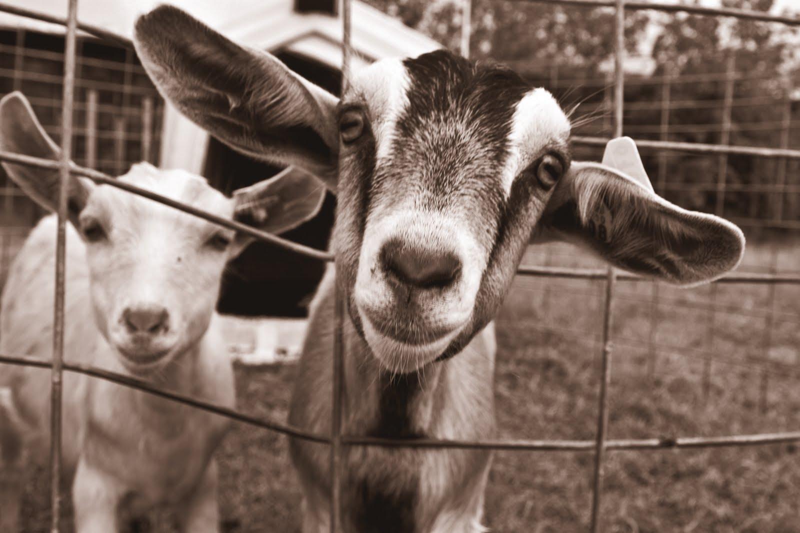goat - photo #39