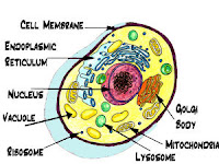 Cell Organelles Diagram